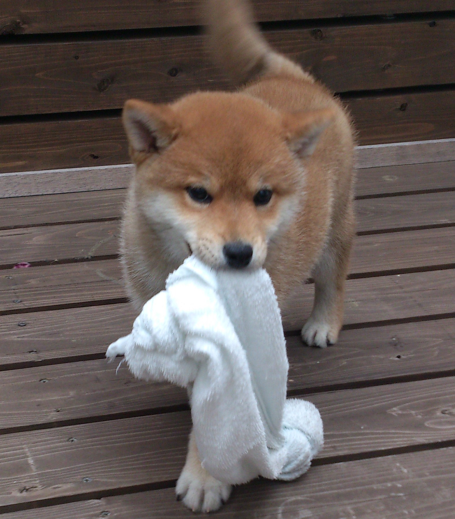 出典dog,standard.com