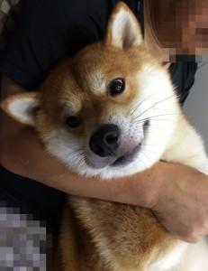 柴犬こぶし抱っこ