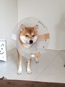 柴犬去勢手術後