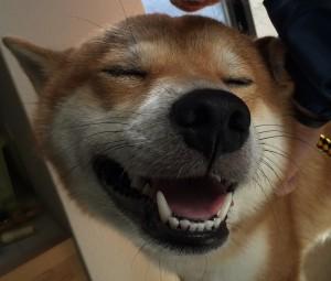 柴犬こぶしと歯みがき