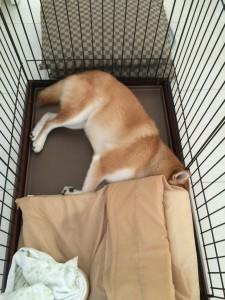 柴犬こぶしごはんを残して隠す